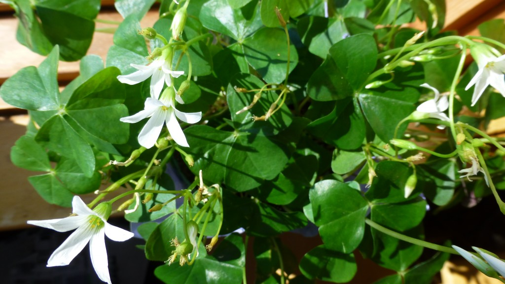 The shamrock houseplant is Oxalis regnellii.