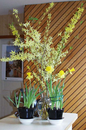 Forced forsythia branches along with potted daffodils add a touch of spring indoors. Photo (c) Hilda M. Morrill