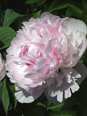 Peony flower in the Morrill garden Photo © Hilda M. Morrill