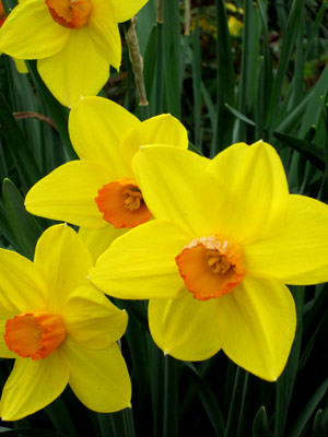 Daffodil blossoms from fall-planted bulbs. Photo (c) Hilda M. Morrill