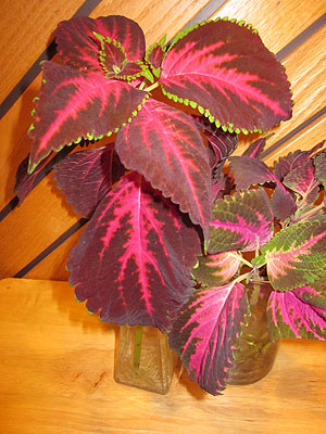 Coleus cuttings rooted in water are ready to be planted in potting soil to add some beauty indoors during the long winter. (Photo (c) Hilda M. Morrill)