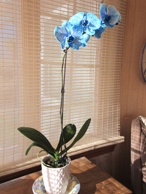 A beautiful Phalaenopsis orchid plant was among the author's favorite Christmas gifts received. Photo (c) by Hilda M. Morrill
