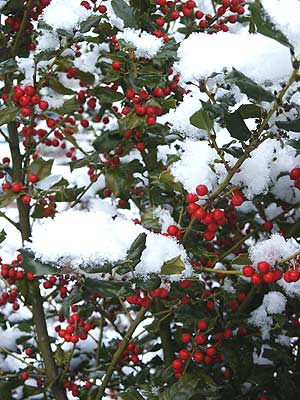 Red holly berries amidst the snow provided a Valentine's treat for the birds. Photo (c) by Hilda M. Morrill