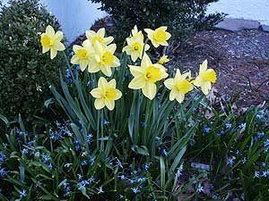 Daffodils surrounded by scillas. (Photo (c) by Hilda M. Morrill)