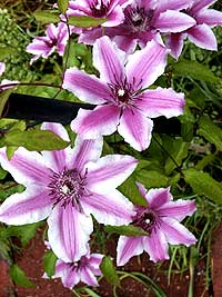 Clematis blossoms in the June garden. (Photo © Hilda M. Morrill)