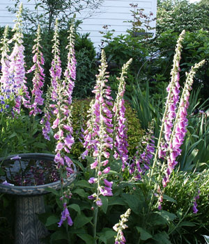 Digitalis purpurea (common foxglove) blossoms brighten the June garden. (Photo (c) Hilda M. Morrill)