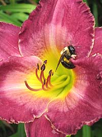 A bee visits a daylily blossom. (Photo (c) Hilda M. Morrill)