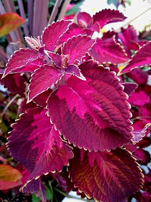 Red-leaf coleus in the July garden. (Photo (c) Hilda M. Morrill)