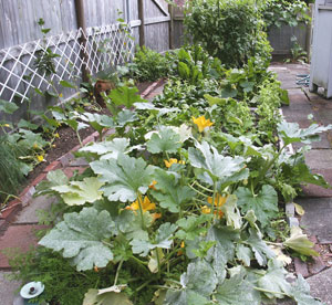 Both the yellow flowers and their ultimate zucchini squashes provide yummy summer treats. (Photo © Hilda M. Morrill)