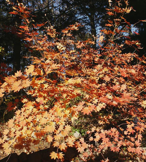 Japanese Maple leaves exhibit vibrant foliage colors in the fall. (Photo (c) Hilda M. Morrill)
