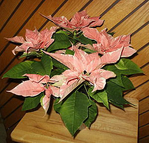 A poinsettia plant with pretty pink bracts instead of traditional red ones. (Photo © Hilda M. Morrill)