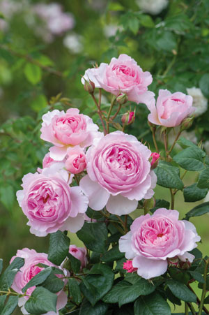 'The Ancient Mariner' pink flowering rose bush is a beautiful 2017 spring introduction from David Austin Roses. (Photo courtesy of David Austin Roses)