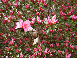 Beautiful azaleas bloom in the May garden. (Photo (c) Hilda M. Morrill)