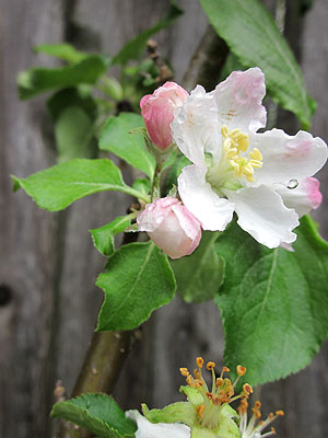 Blossom from Sir Isaac Newton's Apple Tree graft.  (Photo (c) Hilda M. Morrill)