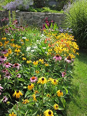 Yellow black-eyed Susans (Rudbeckia hirta) spread readily in the midsummer garden. (Photo (c) Hilda M. Morrill)