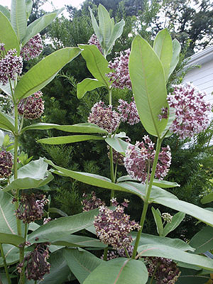 Butterfly weed is an enduring summer plant according to the National Garden Bureau. (Photo (c) Hilda M. Morrill)