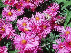 Purple New England asters brighten the fall garden. (Photo (c) Hilda M. Morrill)