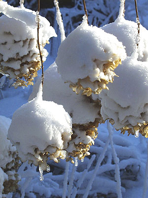 Snow covered Peegee hydrangea blossoms. (Photo (c) Hilda M. Morrill)