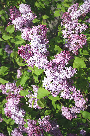 Lilac blossoms are loved, for sure! (Photo courtesy of the Arnold Arboretum)