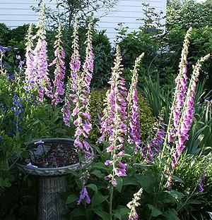 Foxgloves (Digitalis purpurea) brighten the June garden. (Photo (c) Hilda M. Morrill)