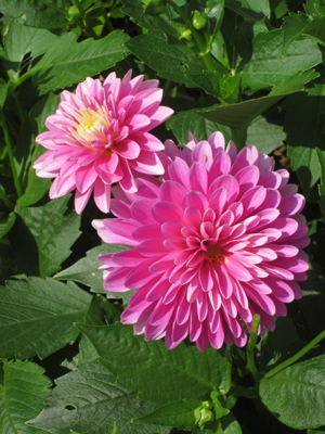 Pink dahlias were a highlight in the 2018 garden. (Photo © Hilda M. Morrill)