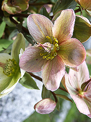 "A hellebore blossom, sometimes called a ""Lenten rose,"" enchants in the spring garden. (Photo © Hilda M. Morrill)"