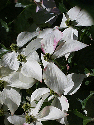 Some Kousa dogwood blossoms exhibit pink tones. (Photo (c) Hilda M. Morrill)