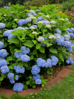 'Endless Summer' hydrangeas enchant. (Photo (c) Hilda M. Morrill)
