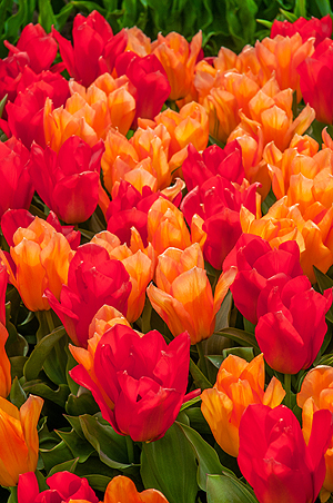 'Apples to Oranges' is the perfect name for these new tulips. (Photo courtesy of Colorblends.com)