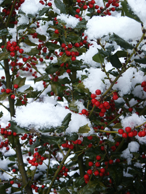 Red berries on an English holly (Ilex aquifolium) stand out after a snowstorm.  (Photo (c) Hilda M. Morrill)